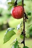 红色苹果的庭院弄湿了 免版税库存照片