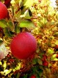 红色苹果计算机特写镜头在果树园 免版税库存照片