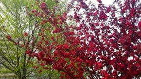 红色苹果绽放和叶子 免版税库存照片
