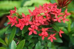 红色茜草科在庭院里 图库摄影