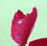 红色草莓叶子在11月 免版税库存照片