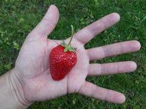 红色草莓在手中 库存照片