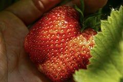 红色草莓在手边特写镜头 图库摄影
