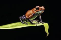 红色草莓毒物箭青蛙哥斯达黎加 免版税库存照片