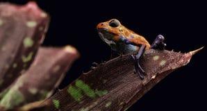 红色草莓毒物箭青蛙哥斯达黎加 图库摄影