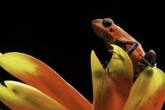 红色草莓毒物箭青蛙哥斯达黎加 免版税图库摄影