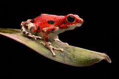 红色草莓毒物箭青蛙 免版税库存照片