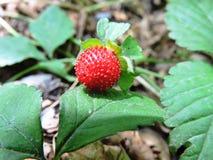 红色草莓 免版税库存照片