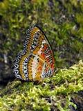 红色草蜻蛉下面 免版税图库摄影