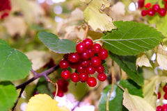 红色荚莲属的植物分支在庭院里 明亮的红色荚莲属的植物束在秋天从事园艺 莓收获的汇集 库存照片