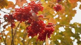 红色荚莲属的植物分支在庭院里 红色guelder玫瑰莓果和分支  荚莲属的植物荚莲属的植物opulus莓果和叶子 股票视频