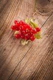 红色荚莲属的植物浆果 免版税库存照片