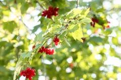 红色荚莲属的植物浆果 免版税库存图片