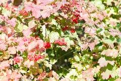 红色荚莲属的植物浆果 库存照片