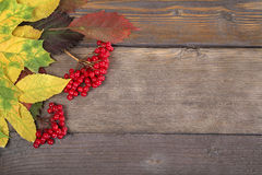 红色荚莲属的植物浆果 库存图片
