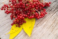 红色荚莲属的植物群 库存照片