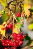 红色荚莲属的植物荚莲属的植物 免版税库存图片