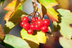 红色荚莲属的植物荚莲属的植物 库存图片