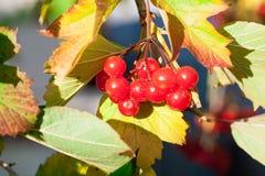 红色荚莲属的植物荚莲属的植物 免版税库存照片