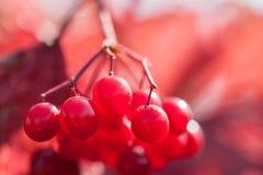 红色荚莲属的植物莓果的宏观图象,小景深 免版税库存图片