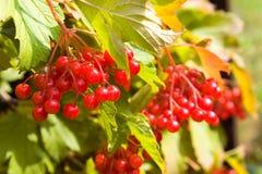 红色荚莲属的植物 图库摄影