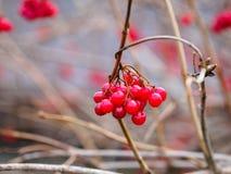 红色荚莲属的植物 免版税图库摄影