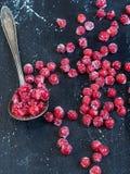 冻红色荚莲属的植物 图库摄影