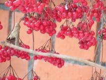 红色荚莲属的植物 库存照片