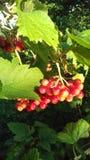 红色荚莲属的植物 免版税库存图片