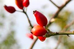 红色莓果准备好圣诞节 免版税库存照片