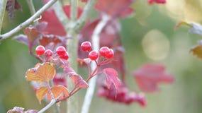 红色莓果厂 库存图片