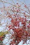 红色莓果和分支在冰暴以后 免版税库存照片