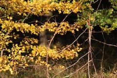 红色莓果在森林沼地 免版税库存照片