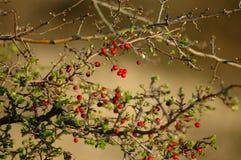 红色莓果在森林里 免版税库存图片