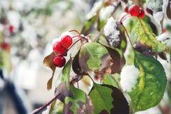 红色莓果在降雪以后盖了雪在公园 免版税库存图片