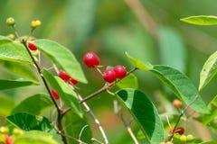 红色莓果有美好的绿色背景 免版税库存照片