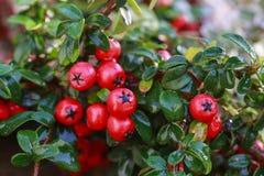 红色莓果枸子属植物horizontalis在庭院里 库存照片