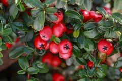 红色莓果枸子属植物horizontalis在庭院里 免版税库存图片