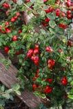 红色莓果枸子属植物horizontalis在庭院里 图库摄影