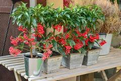 红色莓果树 库存照片