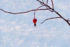 红色莓果狂放上升了在分支的叶子在日落ligh的雪 库存照片