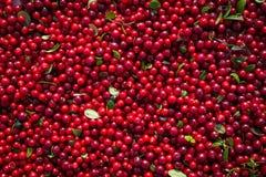 红色莓果蔓越桔在fa的收获以后烘干了在阳光下 库存图片