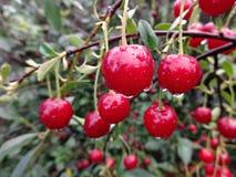 红色莓果,樱桃小树枝  免版税库存图片