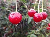 红色莓果,樱桃小树枝  库存图片