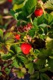 红色莓果,草莓在领域的灌木成熟了 种植莓果的农业 免版税库存图片