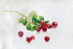 红色莓果,水彩例证 库存图片