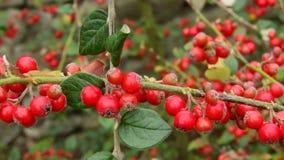 红色莓果-枸子属植物atropurpureus -庭院 免版税库存图片
