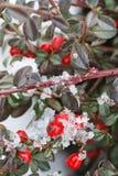 红色莓果(枸子属植物horizontalis)在雪下 免版税库存照片