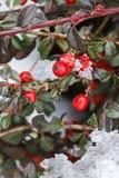 红色莓果(枸子属植物horizontalis)在雪下 库存照片