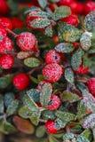 红色莓果(枸子属植物horizontalis)在霜下 库存照片